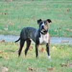 Rudy - AKC S.T.A.R Puppy Program & Boarded Training