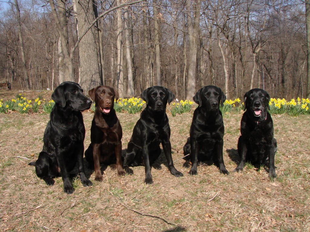 Quality AKC Labrador Retrievers